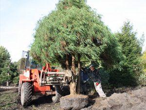 Bäume wie für Sie gewachsen!